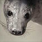 Grey Seal, Stockholm archipelago